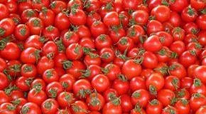 Légumes bio La culture de tomates bio sous serre échauffe les producteurs