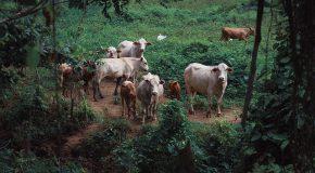 Leucose bovine Les vaches malades inquiètent la Réunion